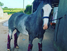 15. 2 cob 6 year old gelding all rounder show cob