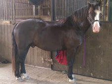 14hh Talented Registered Pony Project