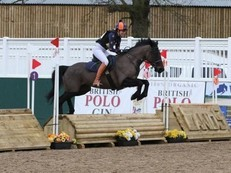 Stunning 15.1 black mare Hunt/hack/project