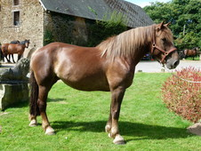 Rocket proof 10yr Old 16hh Ride and Drive Normandy Cob