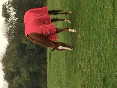 16'2 chestnut thoroughbred mare