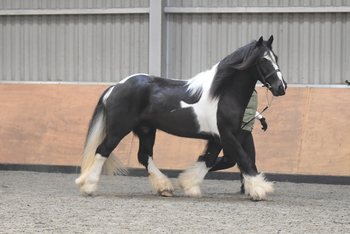 stunning 15hh traditional coloured cob