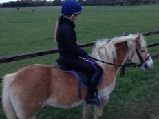 13.1hh Haflinger for Loan