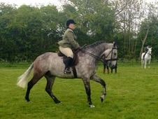 SOLD SOLD SOLD SOLD Mr Posh 17hh ID Gelding 7years