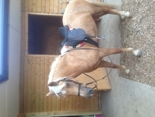 stunning 14. 1hh sec d mare