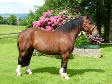 Bombproof 11yr Old 15. 1hh Normandy Cob