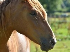 Beautiful Chestnut Lusitano 3 yr old Filly