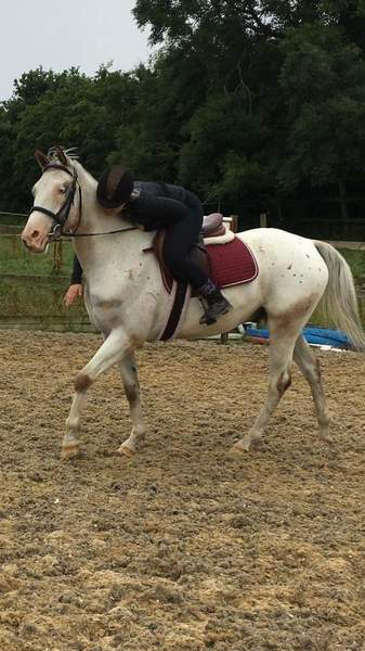 3yr Appalossa gelding for sad sale