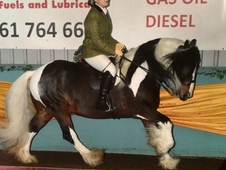 Stunning tri coloured for sale!