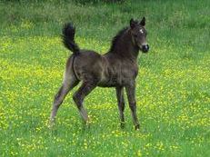Welsh Section D Foal
