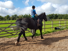18hh Percheron Mare 10yo