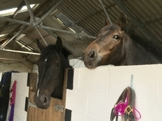 Two lovely big horses for sale