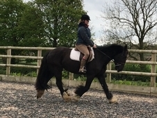 Super Sensible 15hh Cob mare