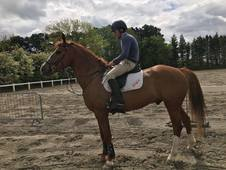 16. 2hh 7yr old lovely all-rounder