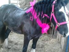 14. 1hh 4 year old black cob mare