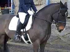Super smart 14. 2 Irish X Dark Bay Gelding