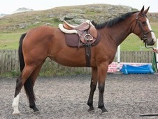 16. 2hh 3yo Bay Filly - Competition Prospect!