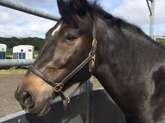 Kind sharer wanted for my lovely 16.1hh Irish sports horse