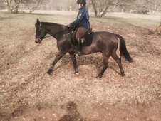 15. 3hh TB happy hacker and flat work gelding for share in Windsor