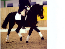 Competition Pony Stallion at Stud