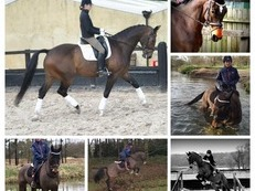 16'2hh Bavarian warmblood. Advanced dressage horse.