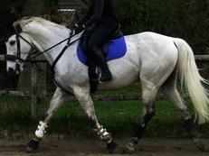 SUPERB RIDING CLUB HORSE.