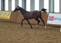 Potential Eventer filly by Timolin