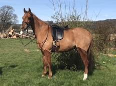12hh/12.1hh LR Show Pony, Huge Showing Potential or FEI Dressage Pony