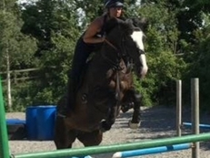 16HH ISH Mare 7 years old