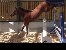 16'1 2015 colt by the showjumping stallion Vittorio.