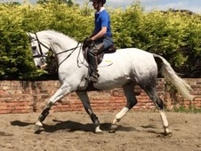 Tarka - super flashy gelding