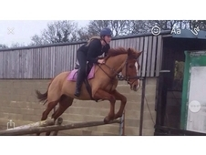 15'3/16'0 mare for LWVTB or possible Full Loan