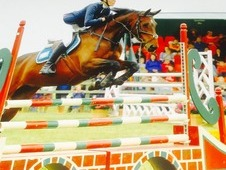 Beautiful KWPN showjumper /all rounder.