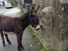 Grandos* Brown young Male well handled Donkey