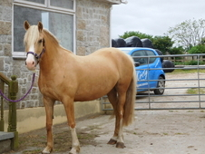 Palomino dream - pretty welsh cob section d mare with a wonderful...
