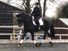 17.2hh Irish Draught Cross Dressage Mare for sale
