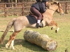Very pretty with good conformation and sweet natured mare for sale