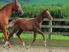 Oldenburg premium filly