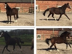 Potential FEI/ Junior Eventer/ Junior or small Ladies Dressage horse