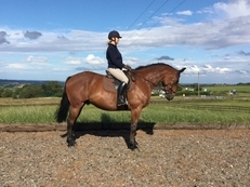Eye catching 9 year old 16.3hh  Trakehner x Irish Draught Gelding