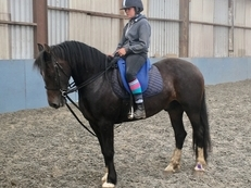 Striking Section D Gelding *Videos Available*