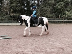 14.1hh Piebald Mare rising 5yrs