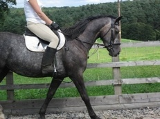 Irish Sports Horse, excellent pedigree