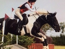 Beautiful middleweight 10 year old 14. 2hh piebald mare for sale