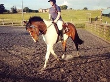 Beautiful 15. 1 Skewbald Gelding