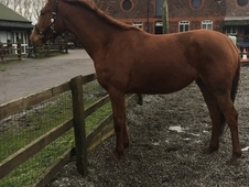 Chestnut mare by cruising