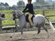 13. 1 Grey Showing pony