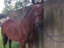 Great Opportunity for gelding French / German Warmblood
