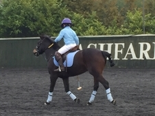 13. 1hh new forest mare for loan or share - to stay at current ya...