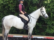 Stunning Registered class 1 Connemara pony